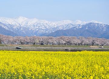朝日町 あさひ舟川「春の四重奏」の投稿写真