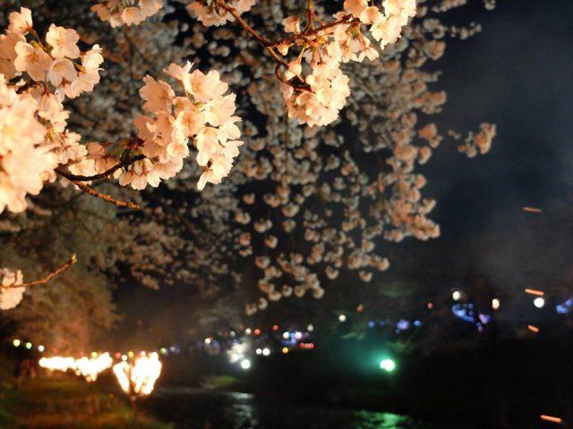 かがり火の夜桜