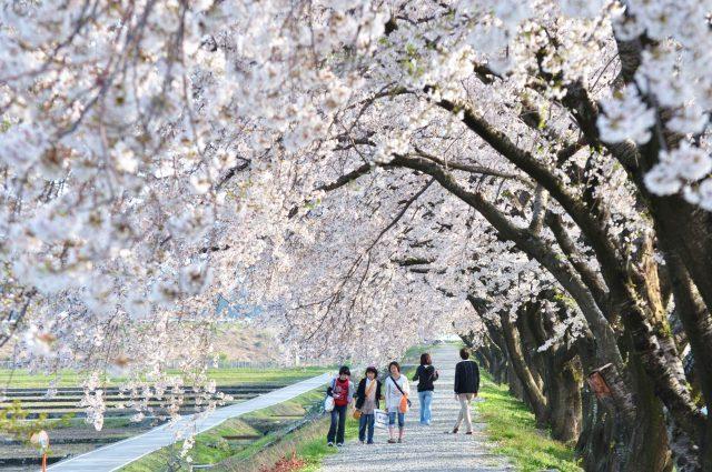 舟川べりの桜並木