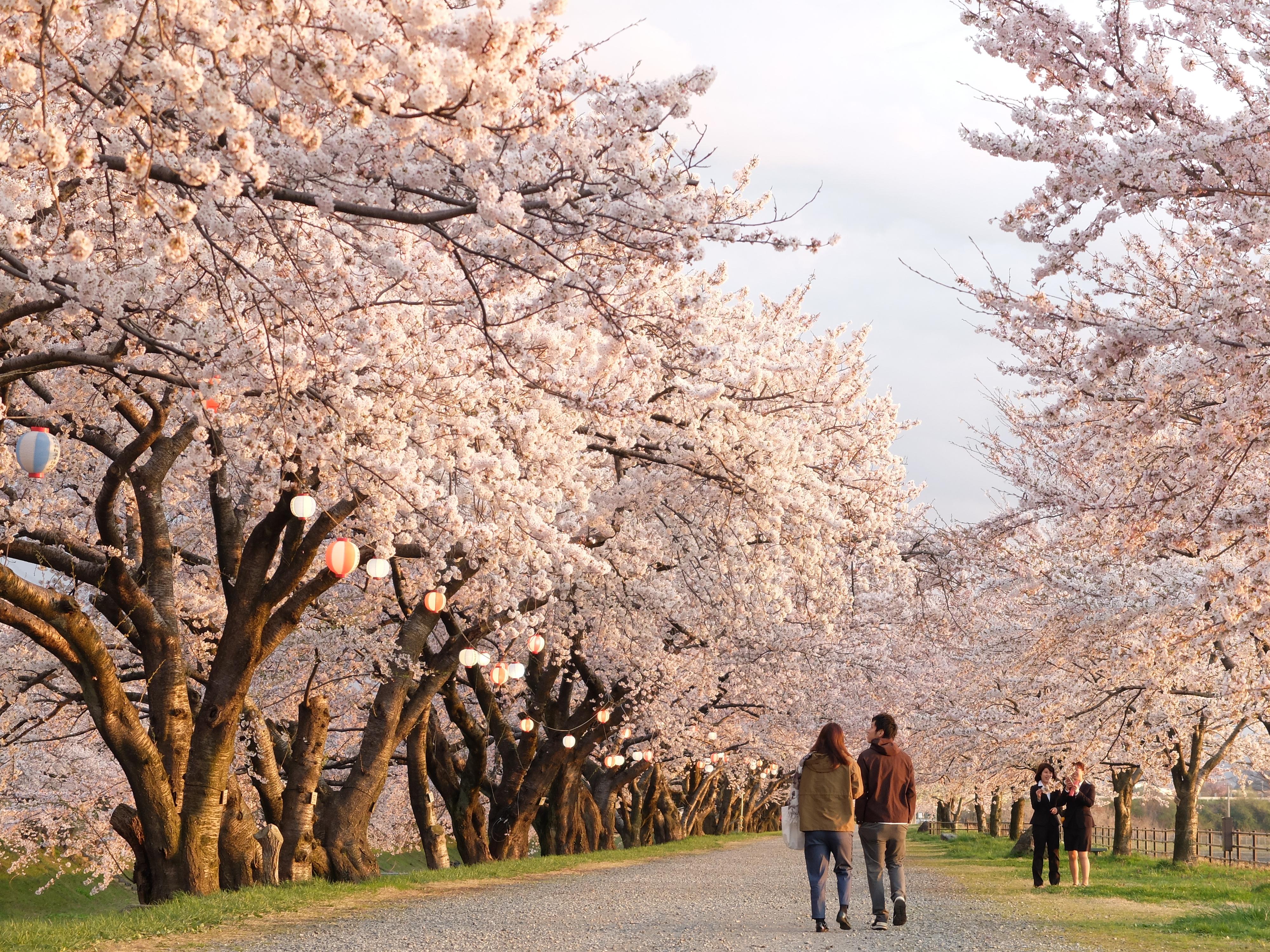 夕暮れ時の桜並木