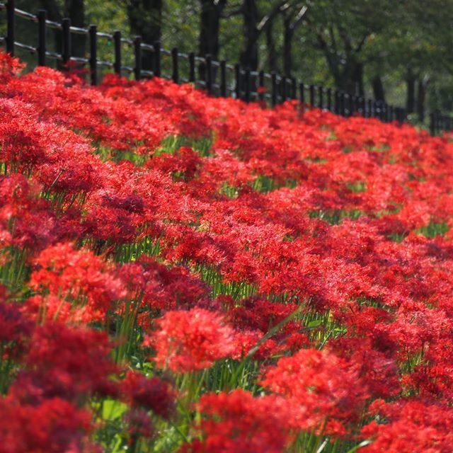 彼岸花の赤い絨毯