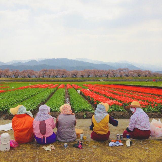 チューリップ花摘み